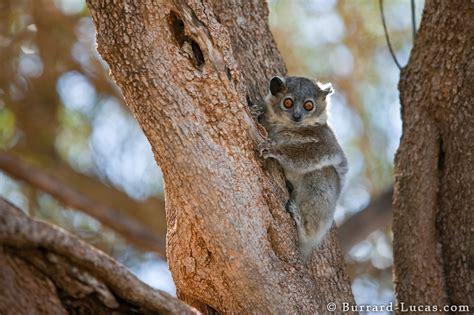 Sportive Lemur In Berenty Burrard Lucas Photography