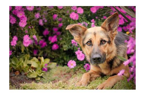 baixar de videos de cão pastor alemão