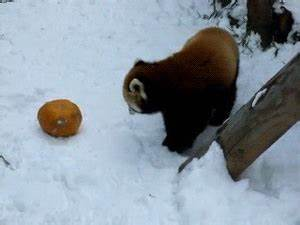 Embrace the Red Panda Overload - Album on Imgur
