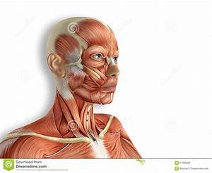 Female Anatomy Semi Transparent Angled Front View Stock