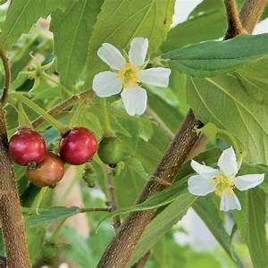 Strawberry Tree (Muntingia calabura)