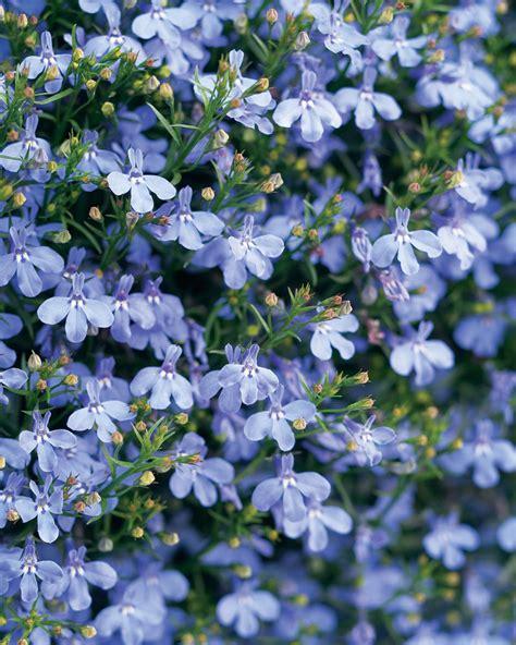 blue lobelia laguna sky blue lobelia erinus proven winners