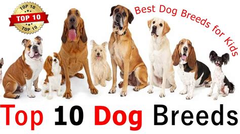 Top 10 Dog Breeds For Family  What Kind Of Dog Should You