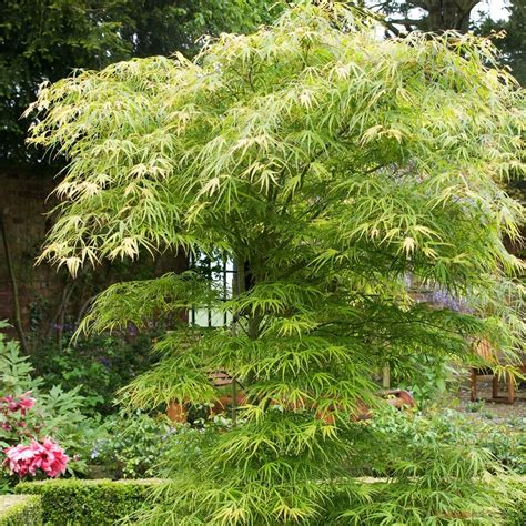 acer japonicum scolopendrifolium conteneur de 5 l