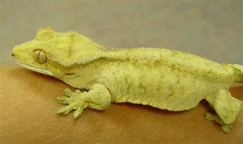 Crested Gecko Shedding Humidity by Crested Gecko Care Chicago Exotics Animal Hospital