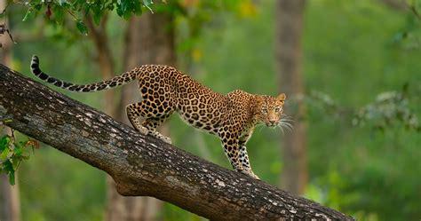 Leopard Animal Wallpaper - colorful leopard on tree 4k ultra hd wallpaper