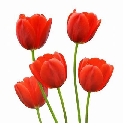 Tulip Tulips Flowers Spring Clipart Bright Clip