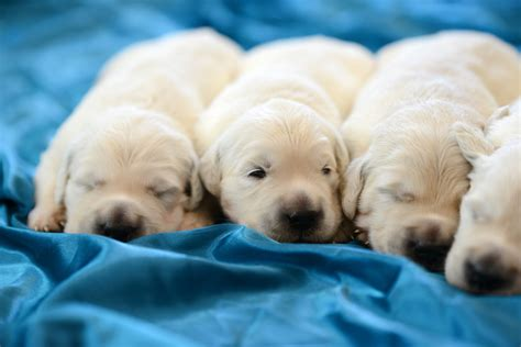 when do puppies open there tina and olaf s puppies are two weeks old the bearden pack the bearden pack