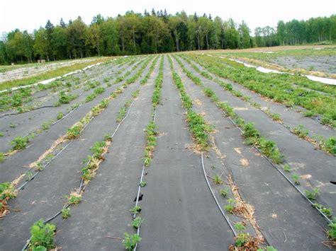 Praktiskā pieredze. Labākās zemeņu šķirnes audzēšanai uz lauka un siltumnīcā. | Laukos.lv