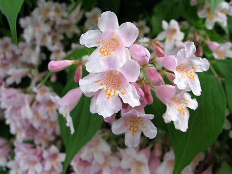 rosa blühender strauch rosa bl 252 tentraum perlmuttstrauch kolkwitzie gersthofen myheimat de
