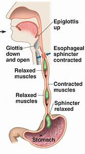 Diagram Of Peristalsis