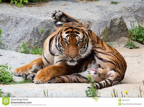 Beautiful Tiger Laying Down Grassy Bank Stock Image