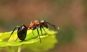 Wie Bekämpfe Ich Ameisen : wie bek mpfe ich ameisen weitsichtige ameisen wie sich ~ Whattoseeinmadrid.com Haus und Dekorationen