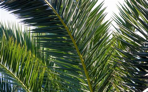 wallpaper palm tree leaves plants  hd picture image
