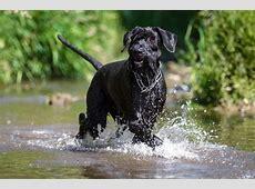 Riesenschnauzer ⋆ Hunde