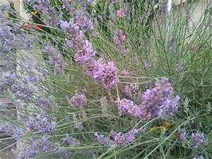 Pflege Von Lavendel : lavendel beschreibung und infos zur blumenart lavendel ~ Lizthompson.info Haus und Dekorationen