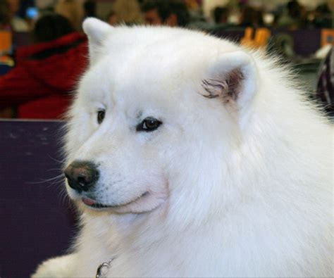 The Secret Behind the Samoyed's Smile - Dog Discoveries