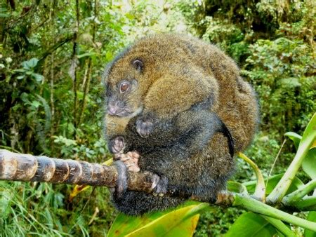 Coppery Ringtail Pseudochirops cupreus Madang Province.JPG ...