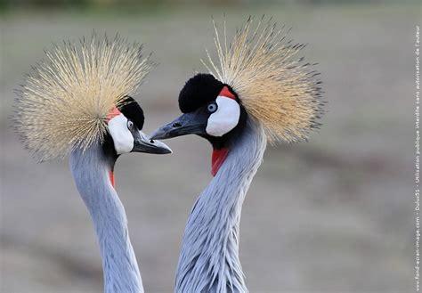 grue couronnee grue  oiseau animal balearica