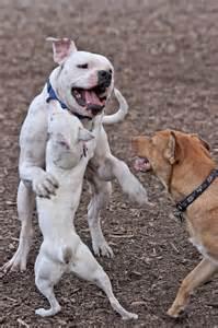 Pitbull Yorkie Puppies