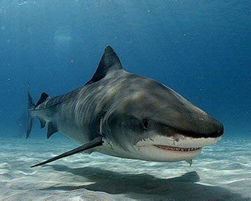 tiger shark facts  kids shark habitat shark facts shark