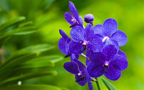 Blue Orchid Wallpapers Images Photos Pictures Backgrounds