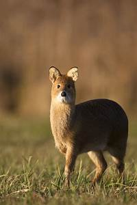 Chinese Water Deer. Soooo cute | Cute animals ...
