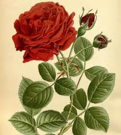 Flower Roses Drawings with Color