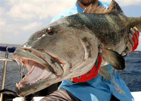 catch fishing grouper barrier reef enlarge below pic howtocatchanyfish
