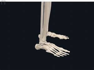 Bones  Foot And Ankle   U2013 Anatomy  U0026 Physiology