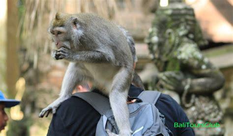 objek wisata sangeh bali monkey forest dihuni ratusan kera