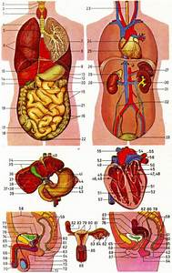 Human Anatomy Organs Female Back