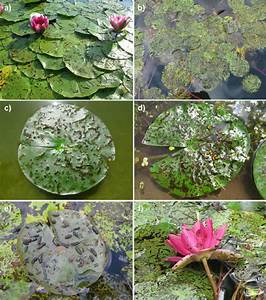 Damage To Water Lily Leaves And The Occurrence Of Various