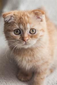 183 best Scottish Fold images on Pinterest | Adorable ...