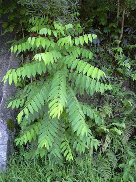 factsheet cedrela odorata cedarwood