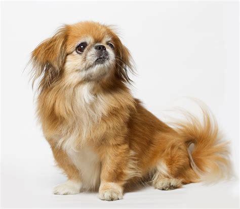 pekinese hund