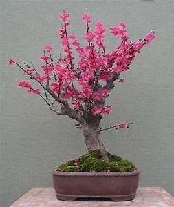 Comment Tailler Un Abricotier : bonsa cr ation fiche d 39 entretien du abricotier du japon ~ Melissatoandfro.com Idées de Décoration