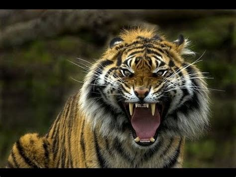 sumatran tigers  revenge  tiger cub killed