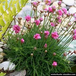 Lang Blühende Pflanzen : breitbl ttriger strandflieder limonium latifolium ~ Eleganceandgraceweddings.com Haus und Dekorationen