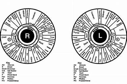 Iridology Chart Iris Printable Jensen Bernard Eye