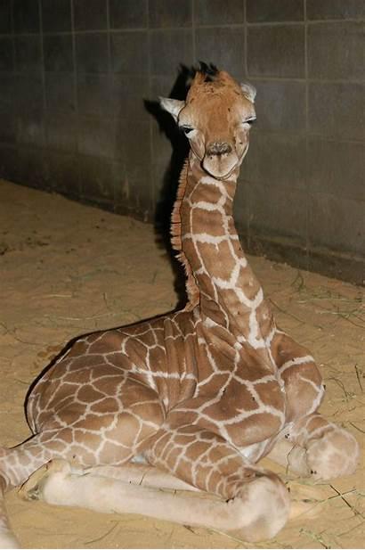 Animal Animals Adorable Planet Giraffe Profile Amazing