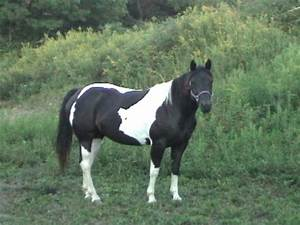 black and white paint horse pictures image search results