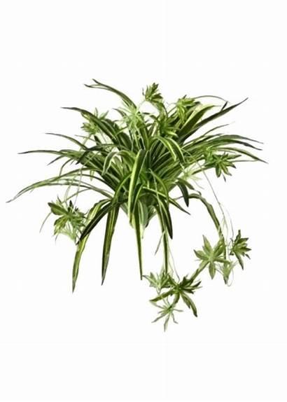 Spider Plant Afloral Plants Artificial Fake