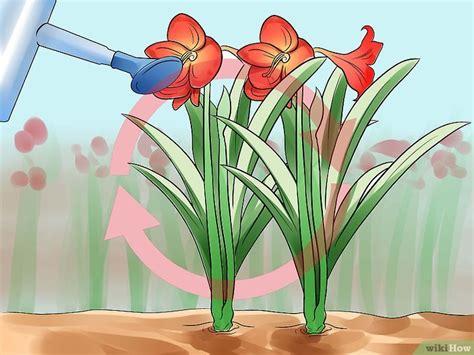 amaryllis zum blühen bringen eine amaryllis wieder zum bl 252 hen bringen wikihow