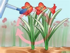 Amaryllis Zum Blühen Bringen : eine amaryllis wieder zum bl hen bringen wikihow ~ Lizthompson.info Haus und Dekorationen