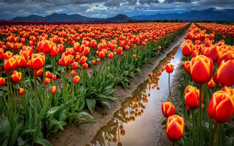 Beach Sand Background Images Tulips Field 1920 X 1200 Nature Photography Miriadna Com