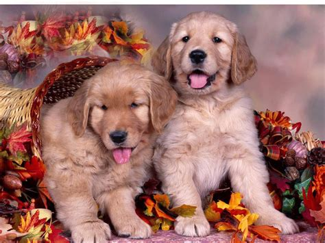 Thanksgiving Animal Wallpaper - fall wallpaper backgrounds wallpapersafari