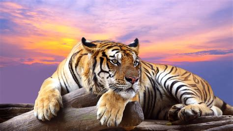 predator tiger sunset hd animals  wallpapers images
