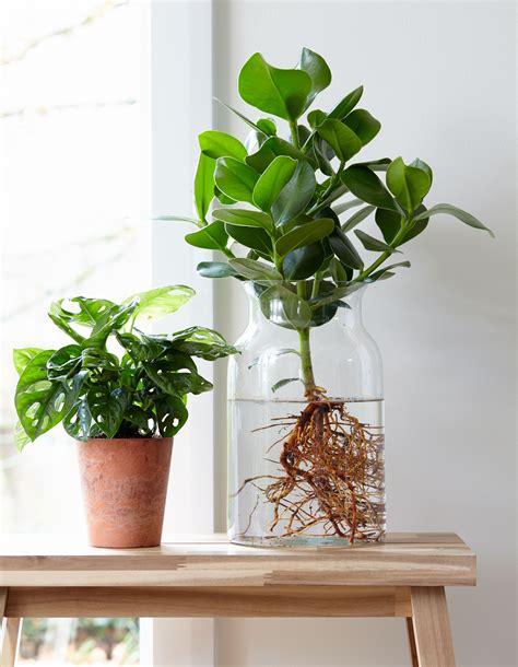 Zimmerpflanzen Richtig Pflegen 7 Tipps by Neuester Trend Anthurie Im Wasser F 252 R Mehr Tipps Zum