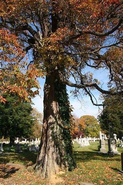 Sassafras Trees Delaware Delawaretrees